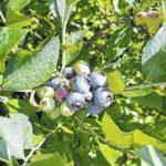 Blueberries get no respect